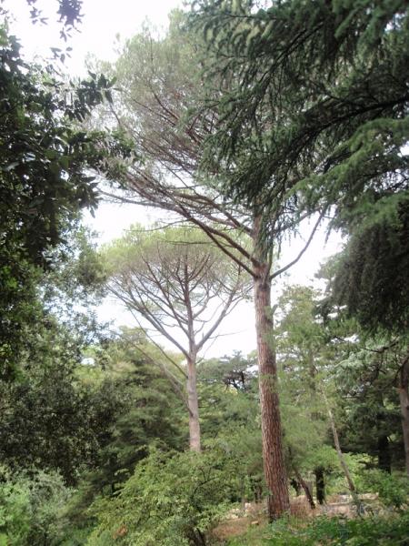 В парке виннера итальянские сосны